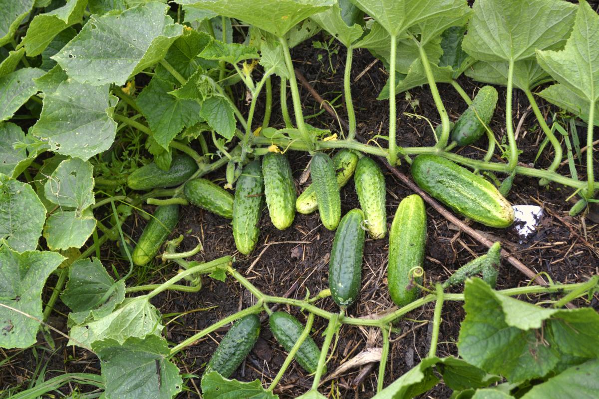 Выращивание огурцов на компостной куче 10
